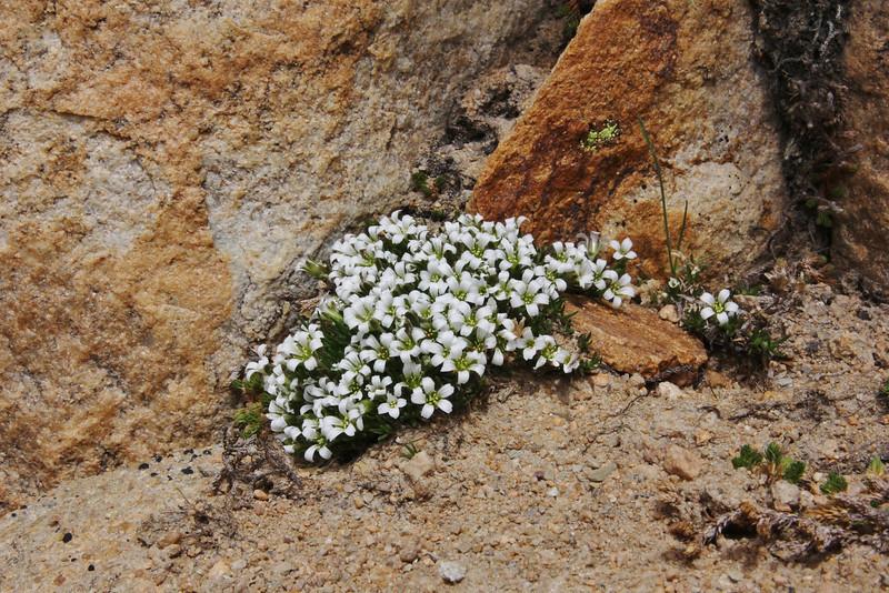 Minuartia obtusiloba? , Bald Mountain Trail, E of Oakley, UT.