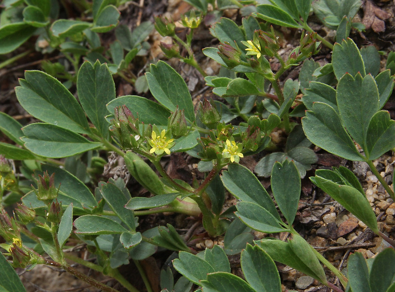 Sibbaldia procumbens, Creeping Sibbaldia, Bald Mountain Trail, E of Oakley, UT.
