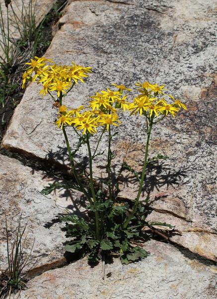Senecio fremontii, Dwarf Mountain Groundsel, Secret Lake Trail, Alta, UT.