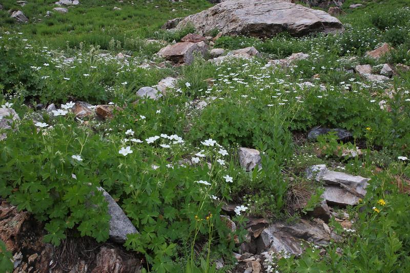 Geranium richardsonii, White Geranium. Secret Lake Trail, Alta, UT.