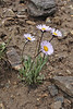 Erigeron grandiflorus, (Syn. Erigeron simplex) along Old Fall River Road
