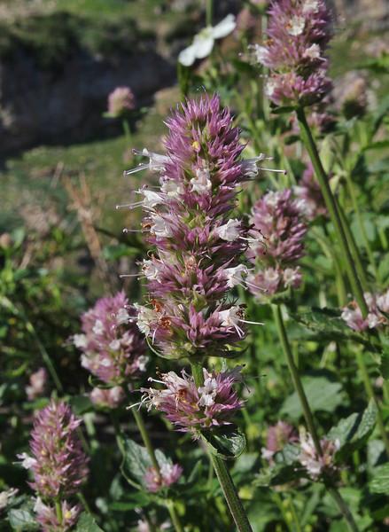 Agastache urticifolia, Nettleleaf Horsemint, Secret Lake Trail, Alta, UT.