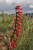 Penstemon eatonii, Firecracker Penstemon. E of Alpine, UT.