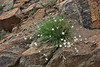 Arenaria capillaris, Thread-Leaved Sandwort along Old Fall River Road