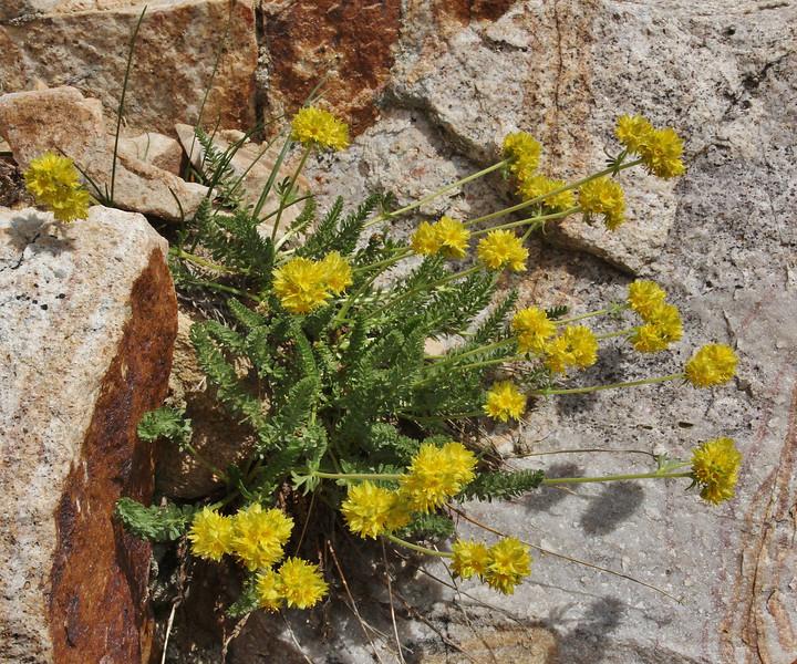 Ivesia gordonii, Gordon's Mousetail, Bald Mountain Trail, E of Oakley, UT.