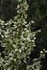 Veratrum californicum, California False-Hellebore or Corn-Lily.
