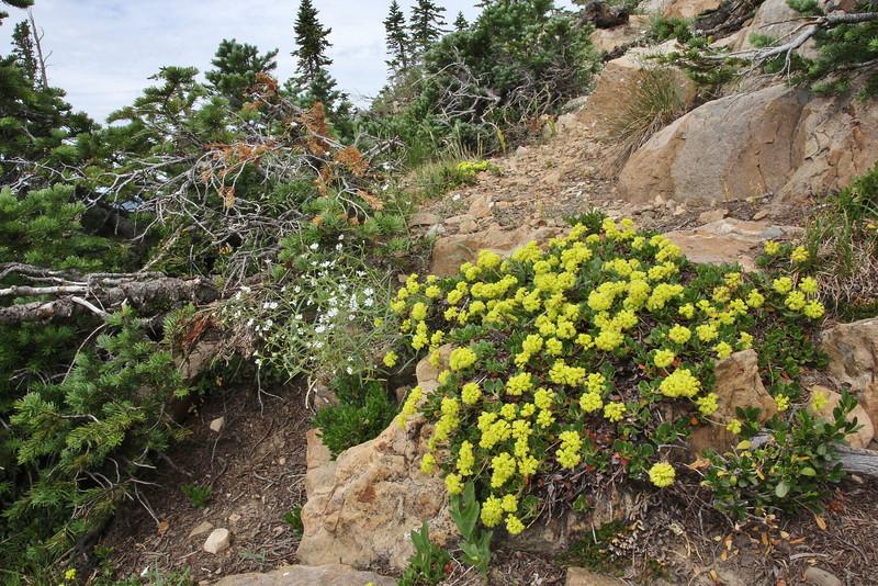 Eriogonum umbellatum, Sulphur Buckweat, Bald Mountain Trail, E of Oakley, UT.