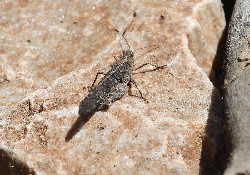 Arphia conspersa, Speckled Rangeland Grasshopper