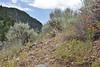 Castelleja linariifolia, Wyoming Paintbrush, State-flower of WY, Wasatch Range