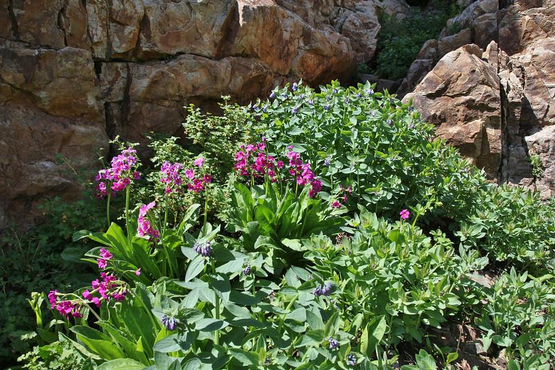 Primula parryii, Parry's Primrose, Secret Lake Trail, Alta, UT.