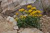 Senecio fremontii, Dwarf Mountain Groundsel, Bald Mountain Trail, E of Oakley, UT.