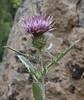Cirsium arvense, Canada Thristle, (native to Europe), Wasatch Range