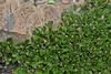 Salix arctica, Rock Willow, Bald Mountain Trail, E of Oakley, UT.