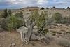 Juniperus osteosperma, Utah Juniper, Semi desert, Big Sand Wash Res., Duchesne, UT.