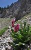 Primula parryi, Parry's Primrose, Catherine Pass Trail, Brighton, UT.