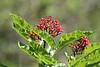 Sambucus racemosa var. leucocarpa, Red Elderberry. Mount Timpanogos Trail.
