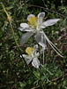 Aquilegia coerulea, Colorado Blue Columbine, light form, CO State flower, Wasatch Range
