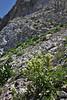 Castilleja cf. sulphurea, Sulphur Paintbrush. Catherine Pass Trail, Brighton, UT.