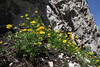 Ranunculus adoneus, Western Wild Buttercup,  Catherine Pass Trail, Brighton, UT.