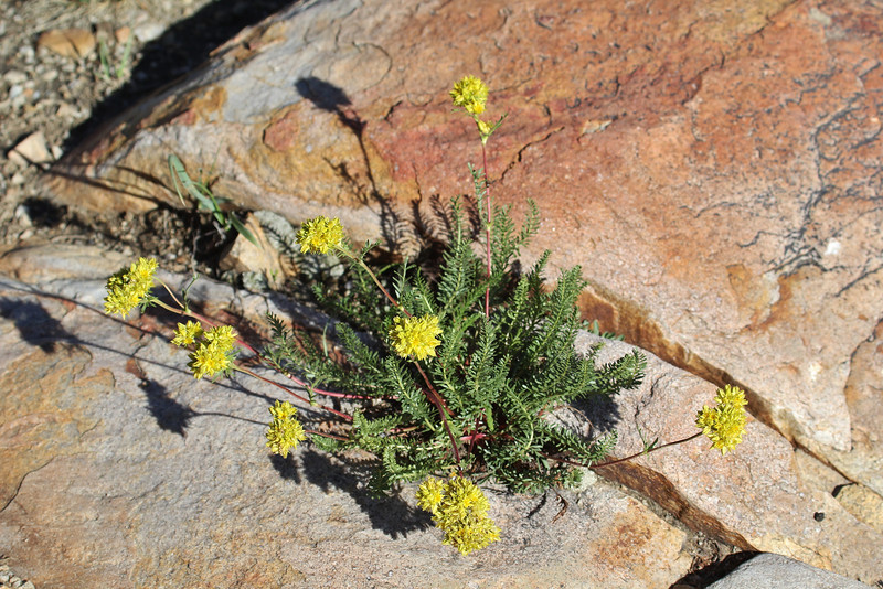 Ivesia gordonii,  Gordon's mousetail. Secret Lake Trail, Alta, UT.