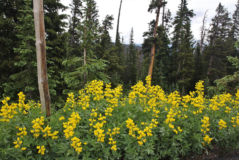 Thermopsis montana, Mountain Goldenpea, along Old Fall River Road