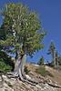 Pinus albicaulis