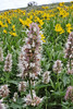 Agastache urticifolia, Nettleleaf Horsemint, Little Cottonwood valley, Alta, UT.