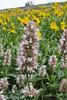 Agastache urticifolia, Nettleleaf Horsemint, Little Cottonwood valley, Alta, UT.