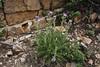 Cirsium cf. vulgare, native to Europe, Bald Mountain Trail, E of Oakley, UT.