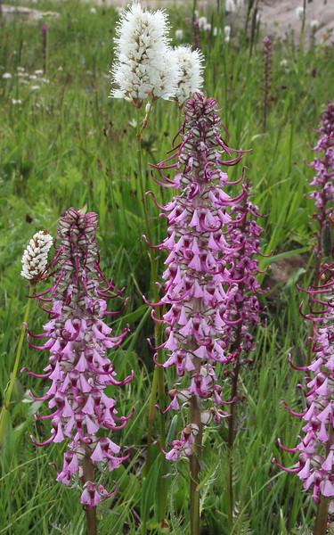Pedicularis groenlandica and Bistorta bistortoides, Balt Mountain Trail near Big Elk Lake, Wasatch-Cache Natural Forest, UT.