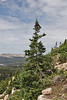 Picea engelmannii, Engelmann Spruce, Bald Mountain Trail, E of Oakley, UT.