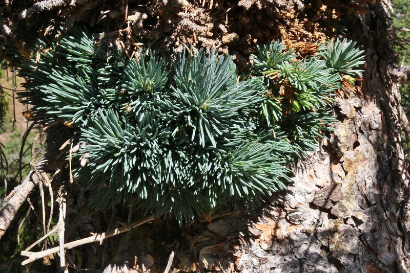 """Pinus albicaulis & """"witches"""" -broom"""