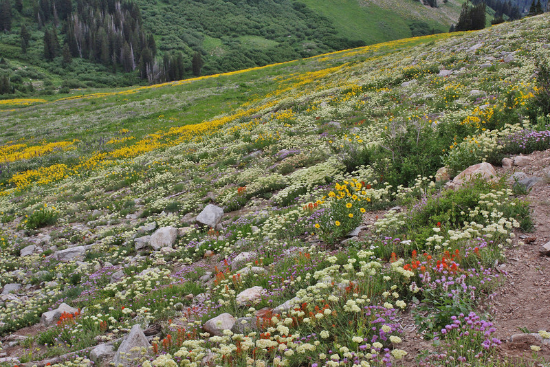 Wildflower meadows at Little Cottonwood valley, Alta, UT.