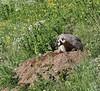 Taxidea taxus, American Badger near burrow entrance. Above Cecret Lake. Alta, SE of Salt Lake City, UT.