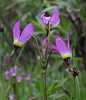 Dodecatheon jeffreyi, Jeffrey's Shooting Star. Secret Lake Trail, Alta, UT.