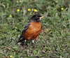 Turdus migratorius, American Robin. Campground Elk Creek, near Grand Lake, CO.