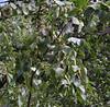 Betula occidentalis, Water Birch.