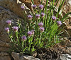 Monardella  odoratissima  ssp. glauca, Mountain Mint in bud. Secret Lake Trail, Alta, UT.