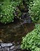 Saxifraga odontoloma, Brook Saxifrage. Secret Lake Trail, Alta, UT.