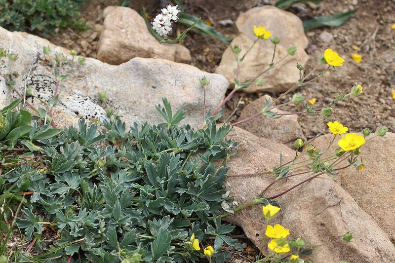Potentilla diversifolia, Blueleaf Cinquefoil. Bald Mountain Trail, E of Oakley, UT.