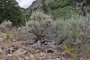 Artemisia tridentata, Big Sagebrush, Wasatch Range