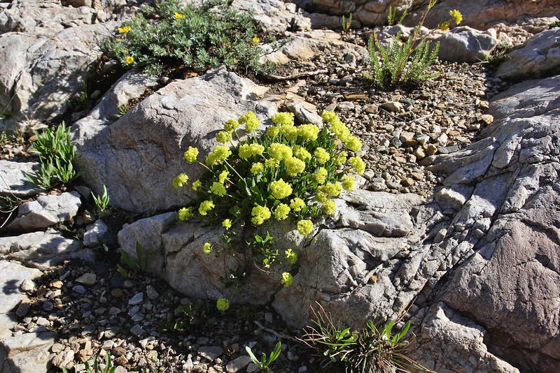 Eriogonum cf. flavum, Yellow Buckwheat. Secret Lake Trail, Alta, UT.