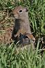 Spermophilus armatus, Uinta Ground Squirrel, Catherine Pass (2669m) Trail.