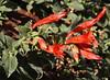Zauschneria latifolia, (syn. Epilobium canum),