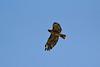 Buteo jamaicensis cf. ssp. fuertesi, Red-tailed Hawk near  Craig, CO.