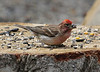 Carpodacus cassinii, Cassin's Finch. Campground Albion Basin near Alta, UT.