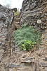 Petrophytum caespitosum, Mat Rock Spirea, Wasatch Range