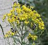 Gnophaela vermiculata on Senecio serra, Police Car Moth on Tall Butterweed.