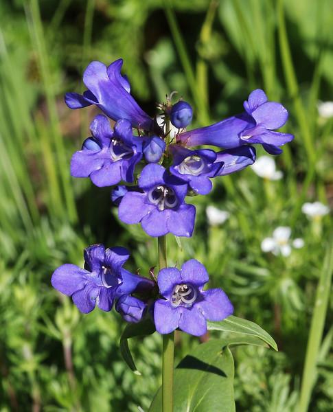 Penstemon cyananthus (glaber), Wasatch Penstemon or Wasatch Beardtongue . Secret Lake Trail, Alta, UT.