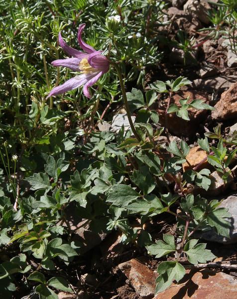 Clematis pseudoalpina, (syn. C. columbiana) Rocky Mountain Clematis. Secret Lake Trail, Alta, UT.